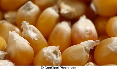 Maize grains. Corn kernel grains. Rotating. Close up - Corn...