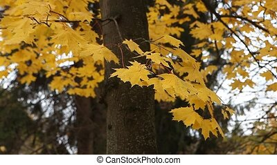Yellow autumn leaves in the park on windy day