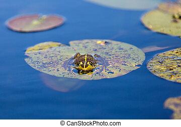 Wasser, Ochsenfrosch, Blätter, lilie, grün