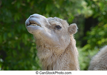 Silly Camel Making Faces - Camel making very silly faces.