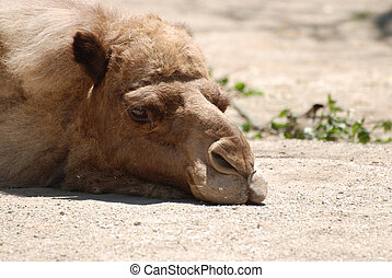Beautiful Face of a Resting Camel - Camel sleeping drowsily...