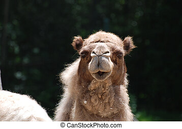 Very Shaggy Dromedary Camel with a Sweet Face - Sweet faced...