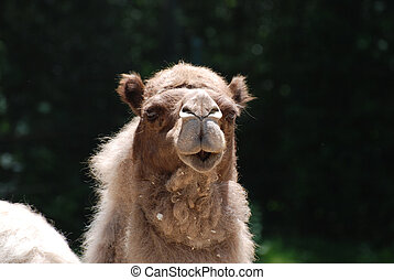 Adorable Face of a Desert Camel - Shaggy furred camel with a...