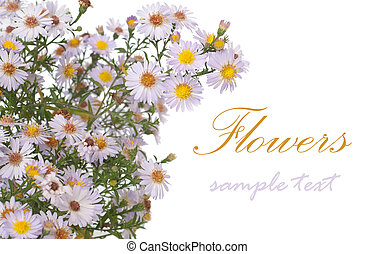 aster - Alpinus aster isolated on white. With sample text