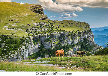 Cows in the mountains - pyrenees,Spain