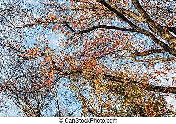 Liquidambar against the blue sky in autumn