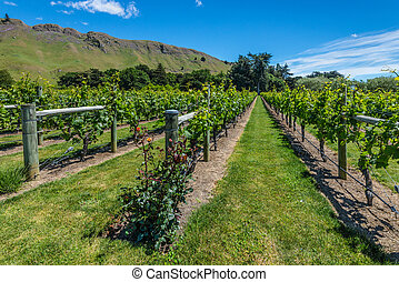 Beautiful vineyard with roses in New Zealand - New Zealand...