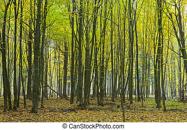 Hornbeam trees in fall - Hornbeam trees in autumnal...