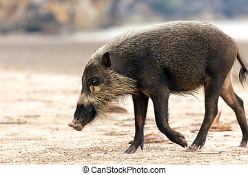 Bornean bearded pig, Sus Barbatus, walking on the Bako...