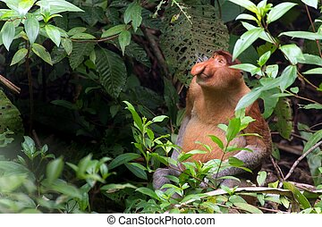 Proboscis monkey in borneo jungle - Proboscis monkey sitting...