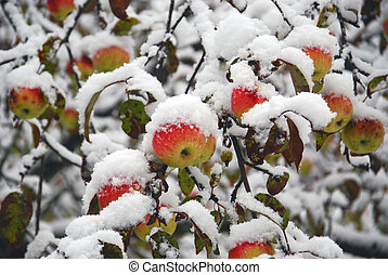Apples are decorated snow garden - Delicious winter ripe...