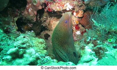 Giant Moray in a sea near the shores Indonesia.