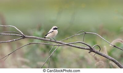 Desert Wheatear (Oenanthe deserti) male in Japan