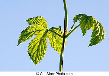 hop plant 06