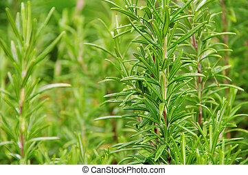 Rosemary 13 - Rosemary