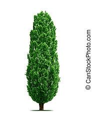 poplar tree isolated
