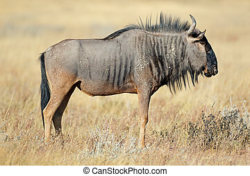 Wildebeest in natural habitat - A blue wildebeest...