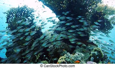School of Glassfish Parapriacanthus ransonneti inside the...