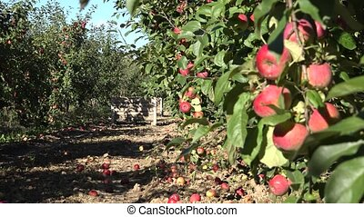 tree with red apple fruit harvest in orchard. Focus change....