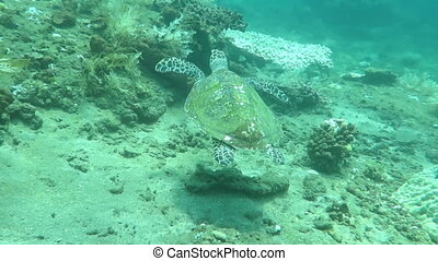 Hawksbill sea turtle near the shores Indonesia. - Hawksbill...