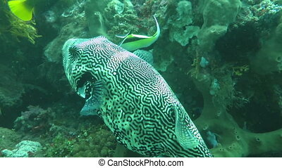 Star puffer, Arothron stellatus hovering in blue water. -...