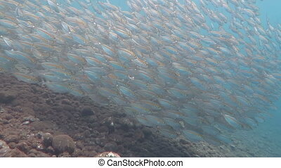 Big school of Mackerel Fish underwater Bali.