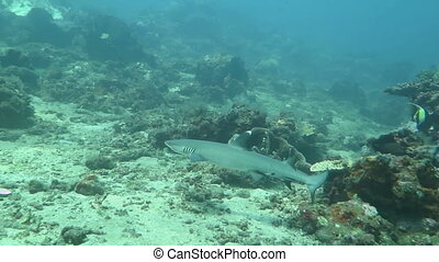 Shark in a sea near the shores Indonesia. - Shark in a sea...