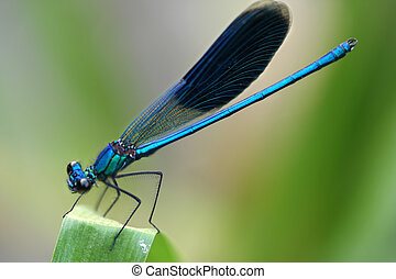 dragonfly - Insect. A beautiful dragonfly