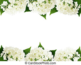 White hydrangea flowers edges isolated on white
