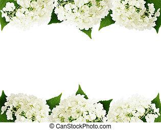 blanco, flores,  HYDRANGEA, bordes