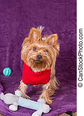 Yorkshire terrier with his dog toys