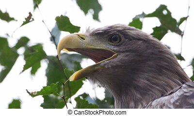 whitetailed eagle on a tree