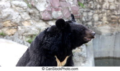 Himalayan bear wait for food in zoo