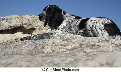 Spotted dog lying on the rocks in summer day