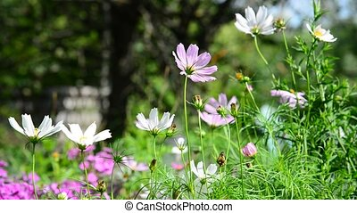 Pink and white daisies in garden