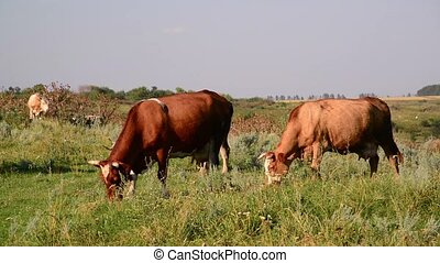 cow nibbling the grass in meadow - cow nibbling the grass in...