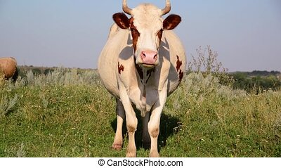 cow chews the grass and looking at camera - cow chews the...