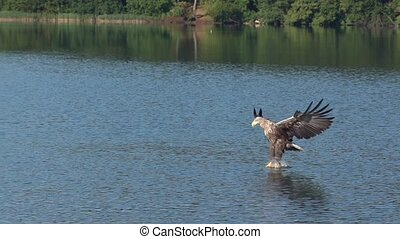 whitetailed eagle hunting