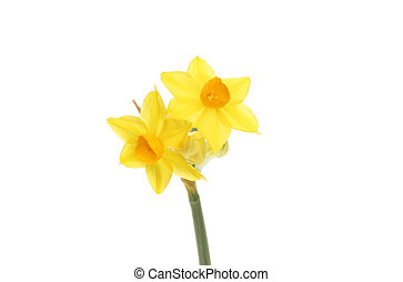 Soleil daffodil flowers isolated against white