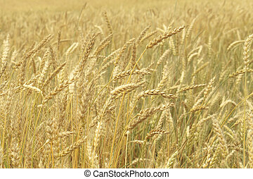 Grain field closeup - Grain field, closeup nature background