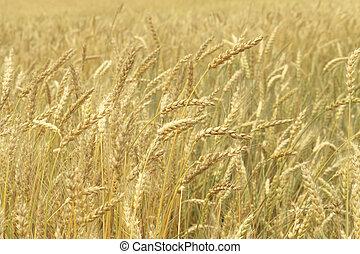 Grain field closeup - Grain field, closeup nature background