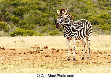 Burchell's Zebra waiting for a turn at the watering hole -...