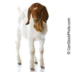 goat doeling standing - South African boer goat doeling...