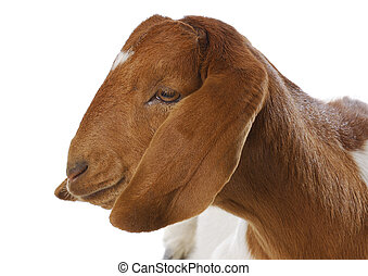 female goat - goat portrait - purebred traditional south...