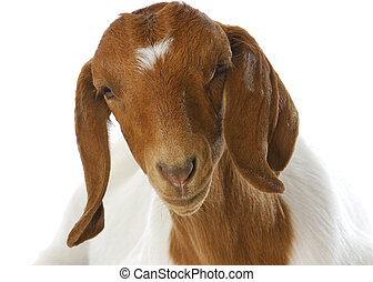 goat portrait - south african boer goat doeling portrait on...