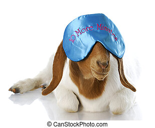 counting sheep - funny goat wearing ten more minutes eye...
