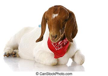 goat wearing bandanna - south african boer goat doeling...