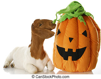 halloween goat - south african boer goat sniffing halloween...