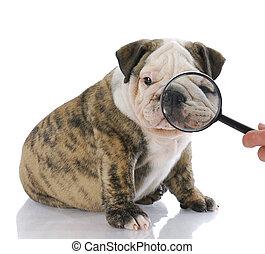 examining face of dog - cute english bulldog puppy having...