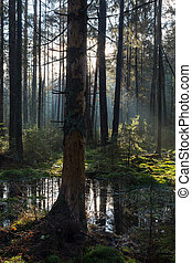 Natural coniferous stand of Landscape Reserve in morning...